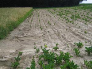 Erosione del suolo su un campo di barbabietole da zucchero, Canton Berna, Svizzera